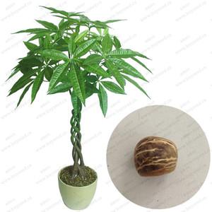 جديد جديلة pachira بذور شجرة المال كبيرة بذور شجرة بونساي بذور شجرة المال ، 1 بذور / حزمة