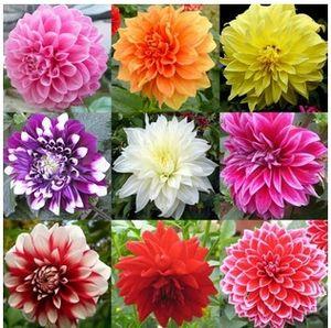 Envío Gratis Mezclado Colores Semillas de Dalias Para Jardín de DIY Al Por Mayor envío Libre 20 semillas / bolsa