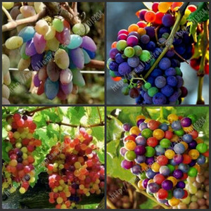 40CP importati semi d'uva arcobaleno, semi di frutta crescita naturale avanzata, quattro varietà di diversi paesi, piante da frutto