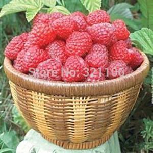 """* NUEVO * FRAMBUESA GIGANTE de JILIN CHINA * """"Fengmanhong"""" * 100 semillas * Exótico * RARO * envío gratis"""