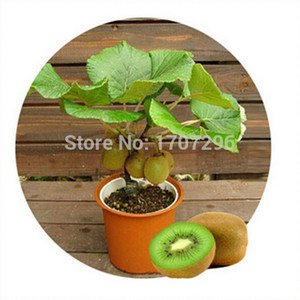 Graines de kiwis, plantes en pot, arbre MIN Nutrition est riche, belle, Bonsaï, graines de melon de légumes - 10 pcs / lot