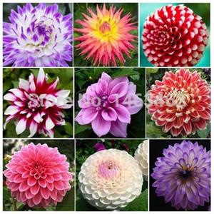 Multi-Colored Dahlia Seeds semi di piante bonsai fiore 50 particelle spedizione gratuita