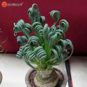 Sin Mankind Plants Broad Leaf Spring Grass Semillas Suculentas Nuevas Plantas 50 unids / bolsa