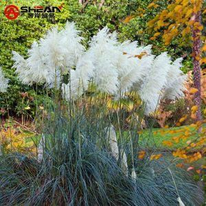 500 adet beyaz pampas çim tohumu Cortaderia Selloana bir bahçede önemli bir odak noktası yapar