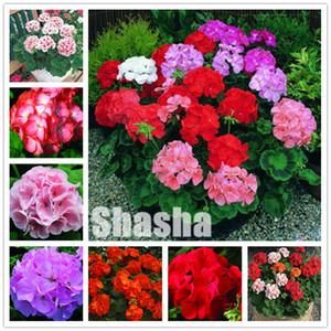 300 Pcs Geranium Bonsai flor planta sementes Pelargonium Geranium vasos de plantas Purify o Crescimento Air Natural para jardim de decoração