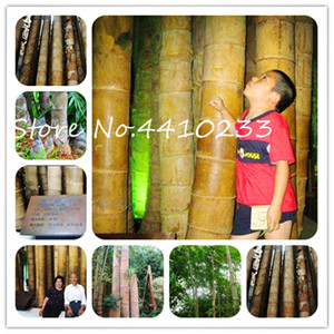 Sale ! 200 Pcs Rare Gaint Bamboo Bonsai plant seeds Outdoor Moso Tree Plant For Home Garden Decoration Pot Herb Planter Fresh Air Free Ship