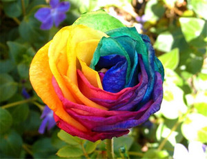 Free Shipping Colorful Rose Seeds *50 Pieces Seeds Per Package New Arrival Ombre Charming Garden Plants (2bag pack)