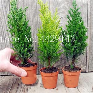 핫 50 PCS 이탈리아어 CYPRESS (사이프러스 Sempervirens) 나무 분재 식물 씨앗, 인기 하디 분재 홈 정원 심기에 대한