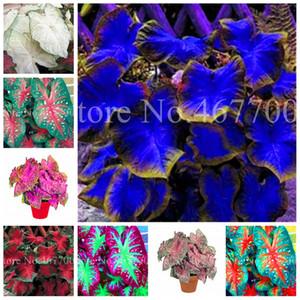 200 Pçs Sementes Exóticas Tailândia Caladium Bicolor Bonsai Balcão Burnt Rose Elefante Flower Flower Perennial Herbs Pot Plant Home Garden