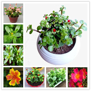 100 Pcs mixte couleur Moss-Rose pourpier Double Fleur Bonsai pour la plantation (Portulaca grandiflora) Chaleur Tolerant facile croissance