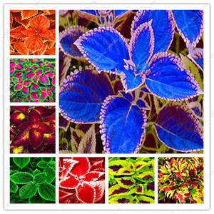 200 Pcs seeds Bonsai Rainbow Coleus Flower Beautiful Foliage Plants Perfect Color Dragon Balcony Begonia Bonsai Easy To Grow Diy Home