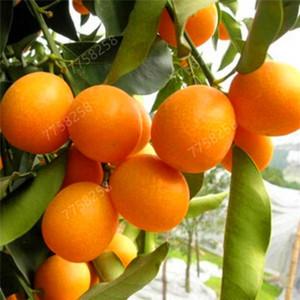 40 pc / sacchetto Semi economici commestibile frutta arance mandarino Bonsai Citrus Pentole Piante da giardino Mini Juicy dolci giardino di aranci Sementes