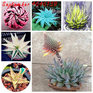Caliente Sale200Pcs Semillas Raras color Aloe Bonsai plantas suculentas mini jardín Plantar, comestible envío belleza de la fruta vegeable Pot PlantFree