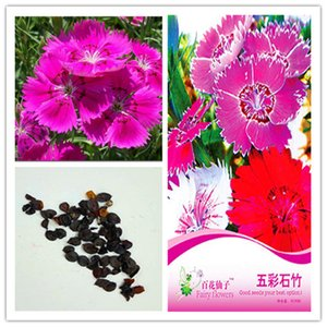 1 pack Original package Dianthus flower bonsai plant flower seeds Heirloom Dianthus flower Tree Hardy Perennial Bonsai Plant Hot sale NO59