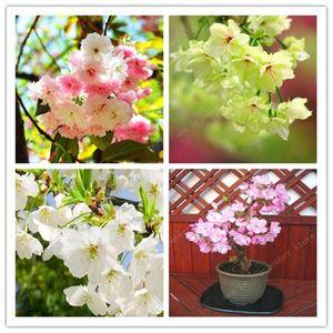 Plantas de Sakura de árvores bonsai plantas raras flores de flores japonesas Bonsai Plantas de bonsai, de múltiplas cores Plantas De Sakura seeds10 pcs / embalagens