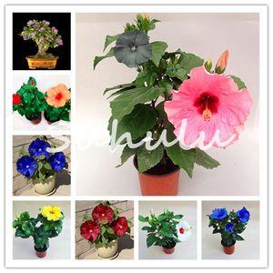 300 PC / bag Zwerg Hibiskus flores Baum Speiseteller Hibiscus Perennial Blumensamen für Haus Bonsai-Garten Bepflanzung Verwendung 10-12 Zoll Flowe