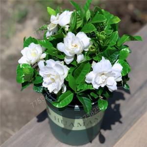 Время-Limit !! 100 шт семян Gardenia Бонсай (Cape жасмин) -DIY Home Garden Герметичный Бонсай, удивительный запах красивых цветов для комнаты завод