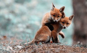 Red Fox Puppies gioca Fighting Art Silk Stampa Poster 24x36inch (60x90cm) 089