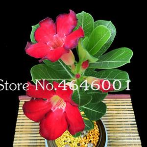 Sıcak Satış Bonsai Adenium obesum bitki tohumları Balkon Çiçek 10 Adet Gökkuşağı Desert Rose Bonsai Home For Bahçe Kolay Grow