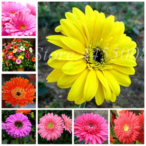 200 Pcs  bag Seeds Lowest Price! Hybrids Gerbera Daisy Mix Chrysanthemum Flower Plantas Bonsai Plants for Home & Garden Decor