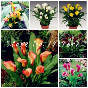 100 semillas de las plantas de las PC de la cala Bonsai habitación Mix Flores Zantedeschia Aethiopica aire libre de interior Plantas de interior Hogar Jardín Planta de tiesto de boda