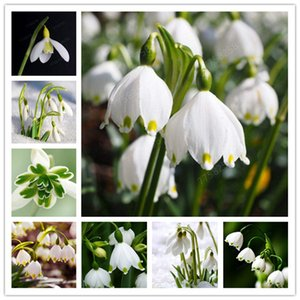 200 PCS Seeds bianco cinese Bucaneve resistente al freddo adatto per recisi Giardinaggio decorazioni e ornamenti da giardino