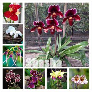 Piante 300 pc / semi Confezione Phalaenopsis Bonsai adorabile di farfalla del fiore dell'orchidea Bonsai Blue Sky pianta da giardino pianta in vaso