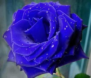 Semillas de envío gratuito Blue Rose * 50 semillas piezas por paquete nuevo de la llegada de jardín con Encanto Ombre Plantas (2bag / pack)