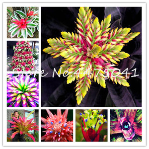 1000 Pcs Cactus bromélias plantas raras colorido Bonsai Flor Courtyard Mini Suculenta Bonsai Diy Início Jardim Planta Sementes