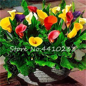200 PC Semillas Bonsai Mixta cala de habitaciones Bonsai Flores Zantedeschia Aethiopica Bonsai Plantas de interior Plantas de jardín decoración de la boda