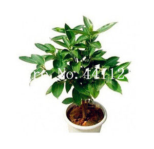 Free Shipping 10 Pcs Japanese Cinnamon Tree Dwarf Trees Bonsai plant seeds Indoor Outdoor Bonsai Pot Container Home Garden Supplies Plant
