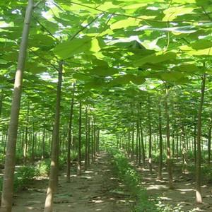500pcs Semillas 100% Paulownia elongata alta calidad Nuevas bonsáis de árboles forestales, 200pcs / pack rápido Bonsai Planta que crece el árbol de la Casa Jardín