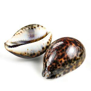 8 10cm Natural Tabby Shell Conch Snail Shell Beach Decor For Home Specimen Craft Acquarium Landscape Accessory Nautical Decor H jllxTr