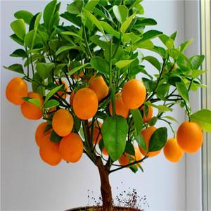 graines de fruits des graines naines Orange Tree permanent de plantes d'intérieur dans de l'usine de décoration de jardin Pot E24