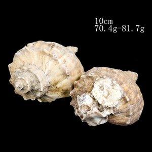 8 10 cm Natural Conch Shell Deepwater Snail Hermit Crab Seashell Casa Náutica Decoração De Peixe Tanque Aquário Decoração Acessórios H JLlykl