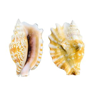 8 12cm Natural Shell Sea Conch Ear Snail Specimen Fish Tank Aquarium Decorations Roll Shellfish Breeding Shell Micro Landscape H jlldym
