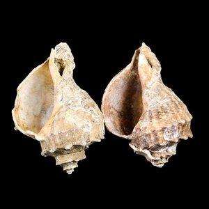 8 10cm Natural Conch Shell Deepwater Caracol Hermit Crab Seashell Casa Náutica Decoração De Peixe Aquário Decoração Acessórios H SQCFSS