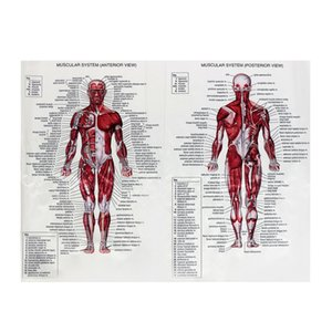 Muscle system display silk tissue image human image anatomy medical education education foot health care