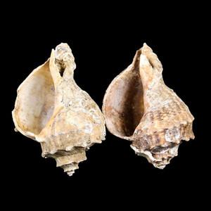 8 10cm Natural Conch Shell Deepwater Snail Hermit Crab Seashell Nautical Home Decor Fish Tank Aquarium Decoration Accessories H jllvGX