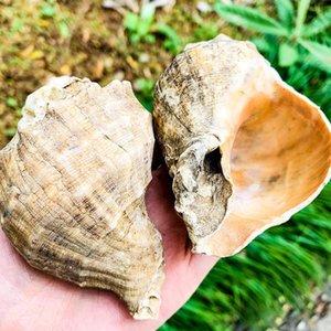 8 cm Natural Conch Shell Deepwater Snail Hermit Crab Caranguejo Seashell Casa Náutica Decoração de Peixe Aquário Decoração Acessórios H Bbyiyp