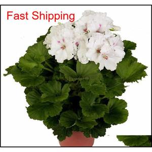 Real Import Geranium Seeds Perennial Bonsai Flower Pelargonium Plants Potted For Garden Decorat jllaEX mxyard