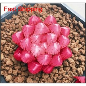 100 Pcs Potted Succulents Fleshy Shining Green Plants Haworthia Cooperi Yulu Truncata Flower Seed Lithops Pseudotru jllDxP loveshop01