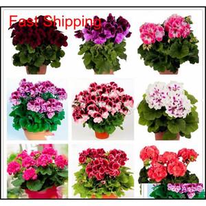 Real Import Geranium Seeds Perennial Bonsai Flower Pelargonium Plants Potted For Garden Decorat jllkfI xhhair