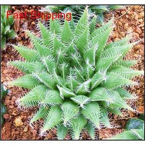 100 Pcs Potted Succulents Fleshy Shining Green Plants Haworthia Cooperi Yulu Truncata Flower Seed Lithops Pseud jllCbr powerstore2012