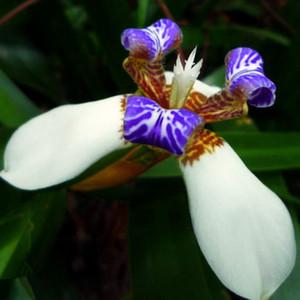 Spedizione gratuita Neomarica gracilis Semi di fiori - 50 PZ Camminare Iris Fiori World's Rare Flower Bonsai Giardino Pianta Regalo Speciale