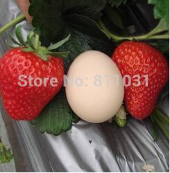 50pcs lot big strawberry seed fruit bonsai seeds DIY home garden free shipping