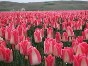 2PC Champagner Tulpenzwiebeln - Bonsai Blumen. (Nicht Tulpe Samen) Dutch importierte Pflanzen