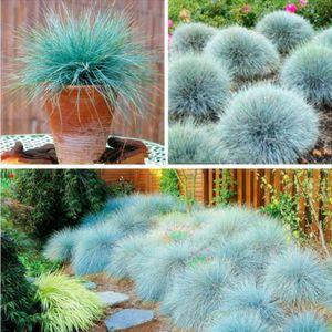 Mavi Çayır Çimen Tohumu - (Festuca glauca) çok yıllık hardy süs çim büyümeye kolay - 10 adet / grup