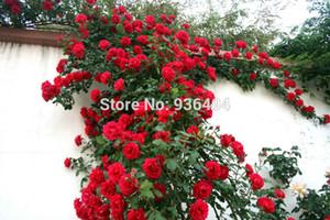 200 PCS rote Kletterrose Samen, Kletterpflanzen, chinesische Blumensamen