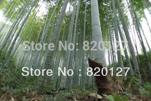 2015 Autumn New Crop 300PCS MOSO BAMBOO ENORME MAO GIGANTE BAMBOO- Semillas - Phyllostachys pubescens / edulis - Moso Hardy Bamboo